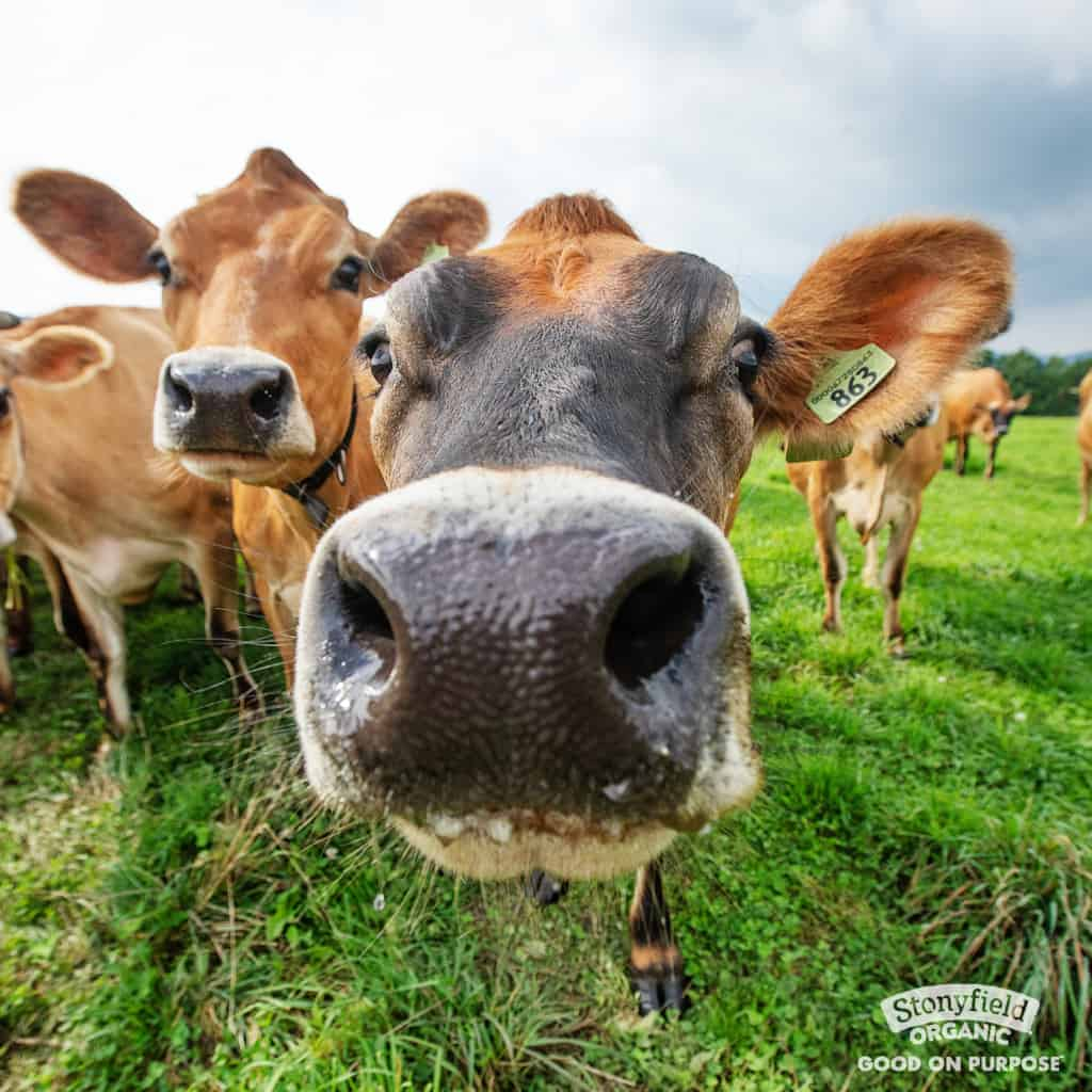close up image of cow