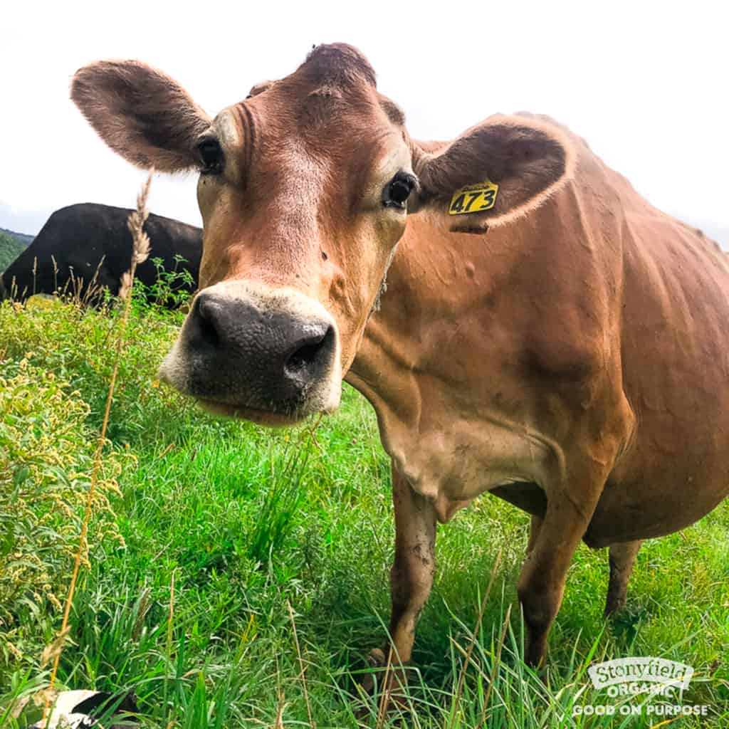 close up image of brown cow on field